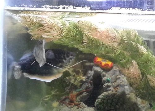 Cara Membuat Kolam Ikan Dwarf Gourami Hias