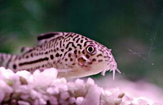 Algae Eater untuk Aquascape Ikan Corydoras
