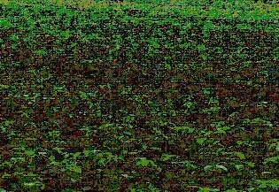 Gambar Areal pertaanaman kedele