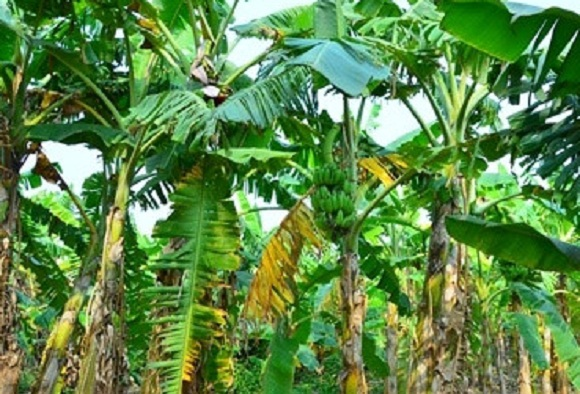 perkembangbiakan pisang