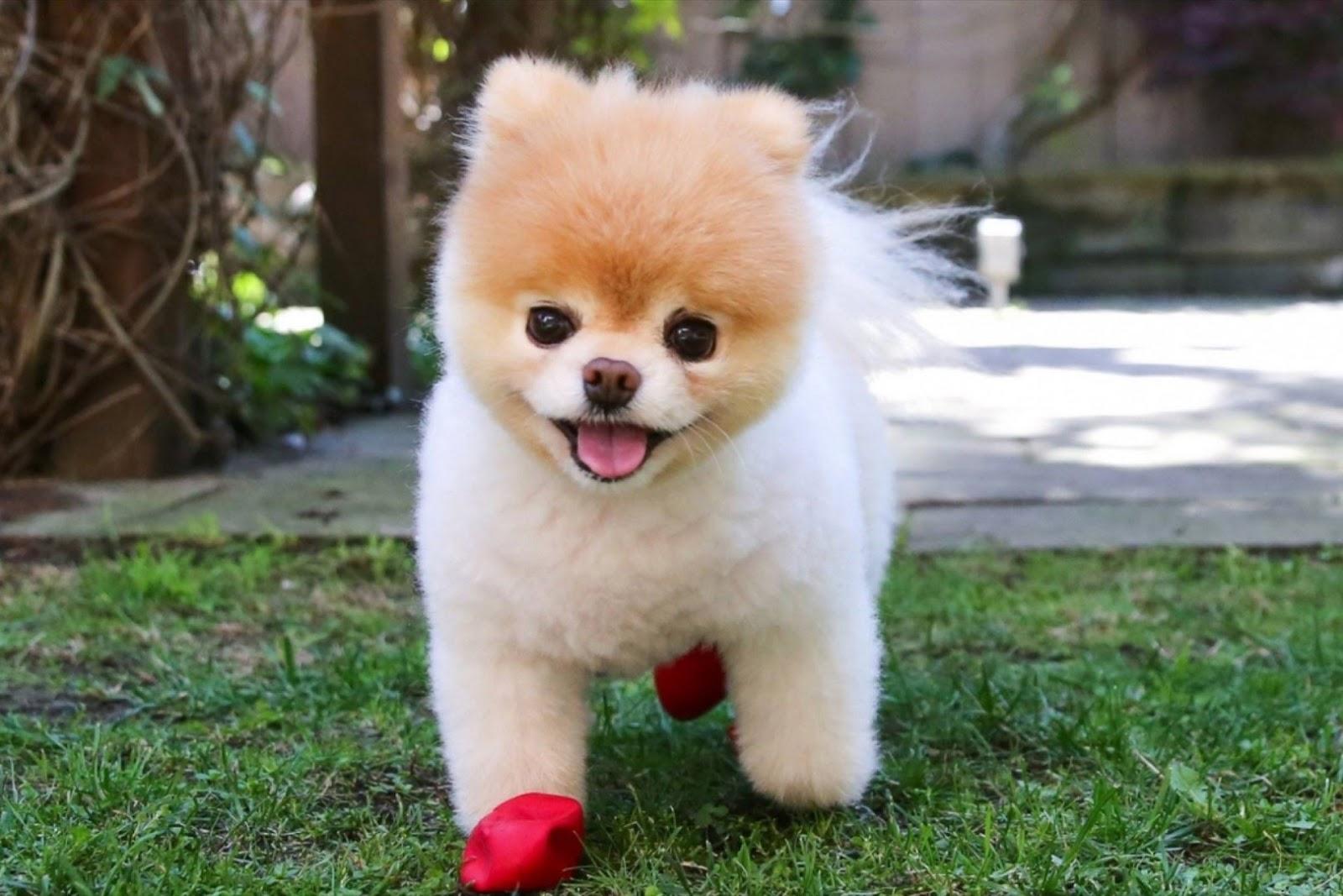 Pomeranian, Boo