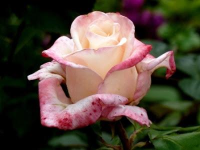 красивая роза Анна