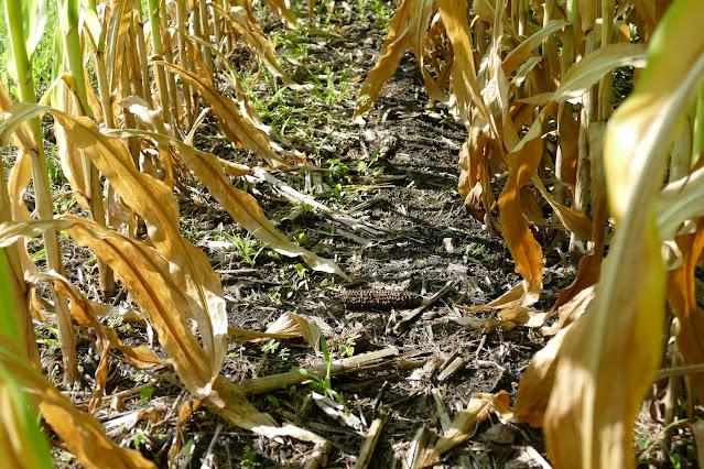 winter rye cover crop corn minnesota