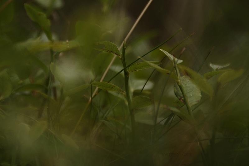 Heidelbeeren pflücken im Wald Blaubeerpflanzen Fotografie düster Bokeh | Tasteboykott