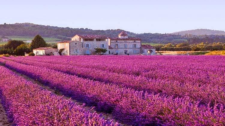 Lavender field Provence,France,wisata prancis,taman bunga,lavender