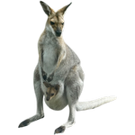 kangaroo in spanish