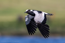 Blacksmith Lapwing in Flight Diep River Woodbridge Island Vernon Chalmers Photography