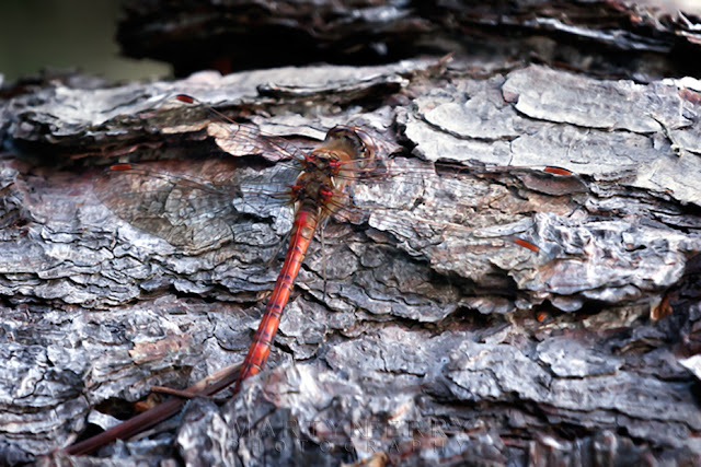 National Trust island of Brownsea is home to many types of dragonfly