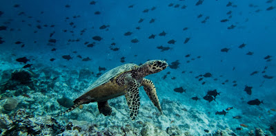 Photo of a hawksbill turtle at Madivaru Corner, diving the Maldives