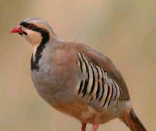 What does the Partridge symbolize? intertesting facts