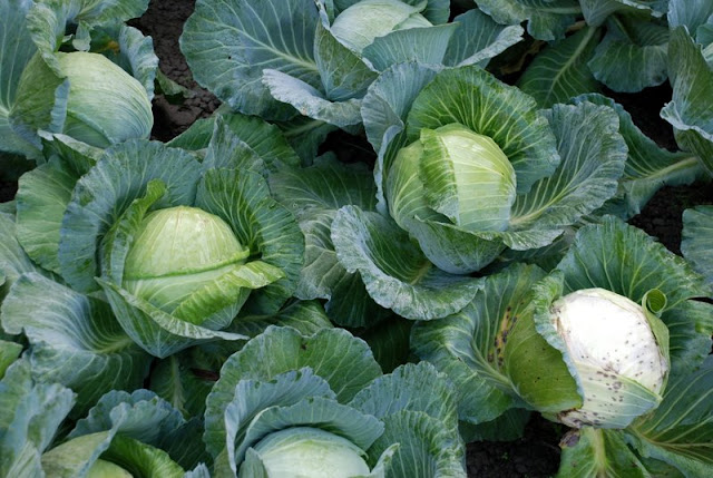Cách trồng Bắp cải và Kỹ thuật trồng bắp cải