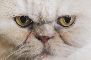 bagian mata kucing persia