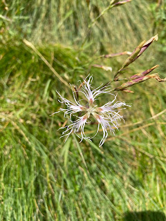 [Caryophyllaceae] Dianthus superbus – Fringed Pink (Garafano superbo)