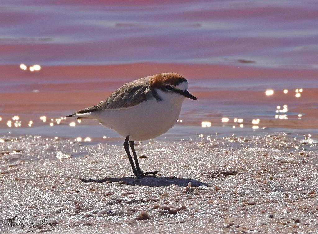 Ptaki Australii Zachodniej - część 2.