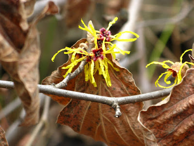 Hamamelis x intermedia Arnold Promise witch hazel flower in bloom detail by garden muses: a Toronto gardening blog