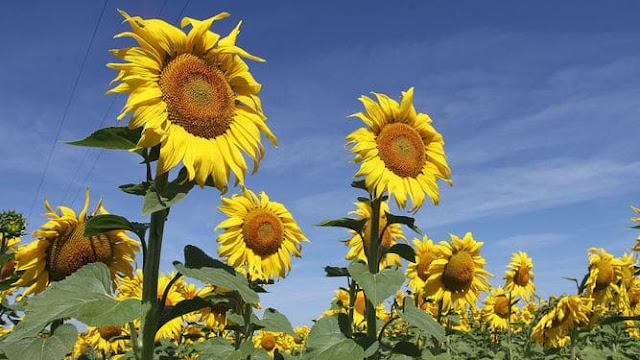La siembra de girasol superó el millón de hectáreas en los campos bonaerenses