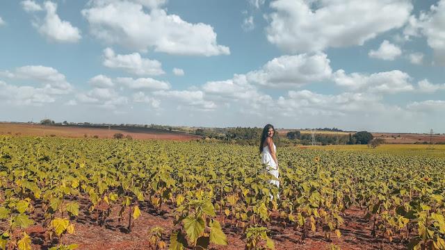 fotos no campo de girassol