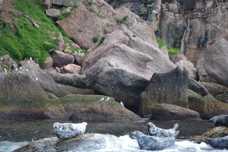 Phoque, Gaspésie