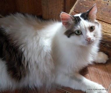 Дорик - Красивый, крупный, пушистый котик