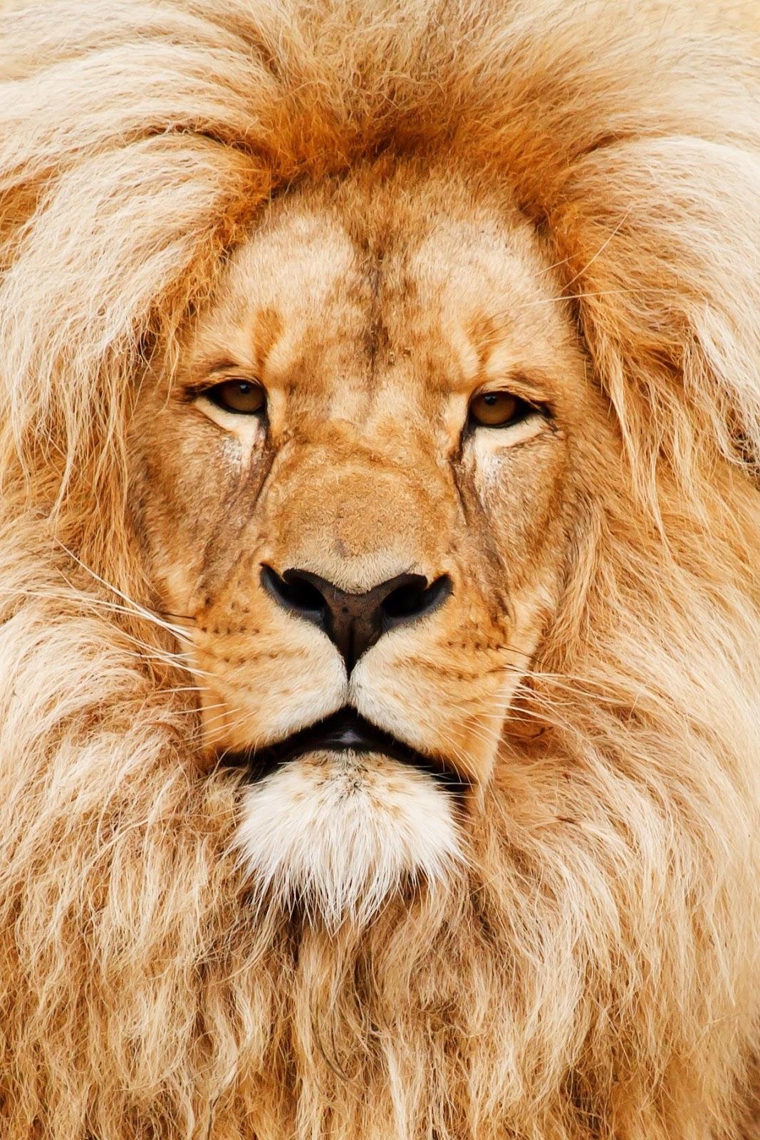 Close up photo of brown lion,lion images