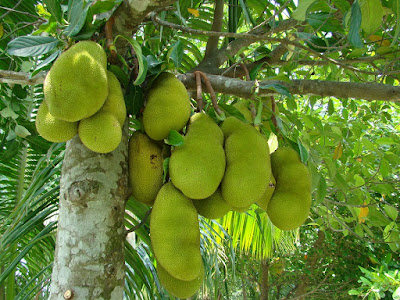 facts about jackfruit leaves