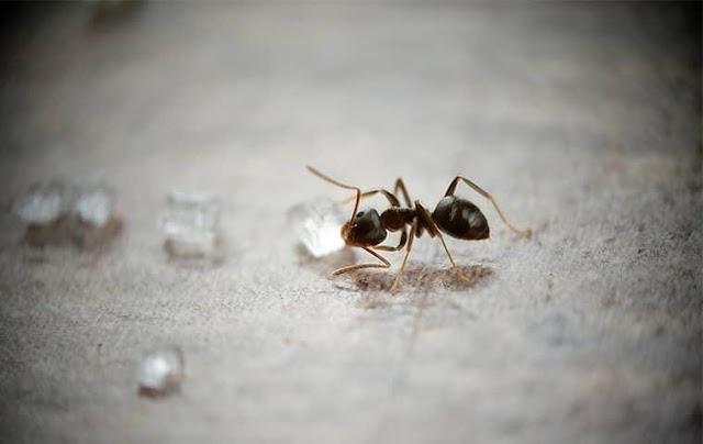 Karıncalar Su İçer Mi ? Karıncalar Su İhtiyacını Nasıl Karşılar ? >>>