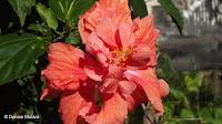 Double salmon pink hibiscus - Diamond Head Community Garden, Waikiki, HI
