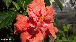 Double hibiscus, Diamon Head Community Garden, Oahu - Denise Motard