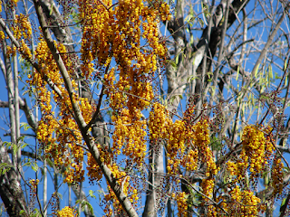 Caña Fistula flowers