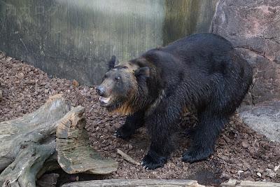 上野動物園のエゾヒグマ