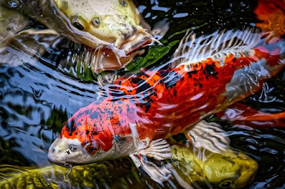 Koi Fish History, Facts and Their Colour