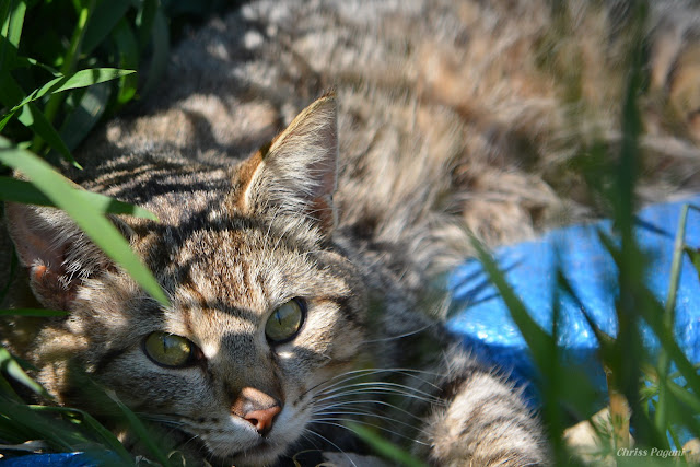 Dusty the dilute brown tabby feral cat, in candid repose