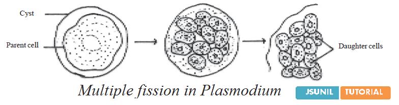 class 10 how do organisms reproduce biology cbse study. Black Bedroom Furniture Sets. Home Design Ideas