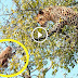 Leopard Hunts Monkey on the Tree!! Flying Leopard VS Baboon