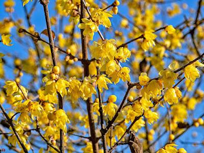 Robai (Chimonanthus praecox) flowers: Engaku-ji