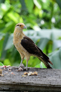 Yellow-headed Caracara Costa Rica