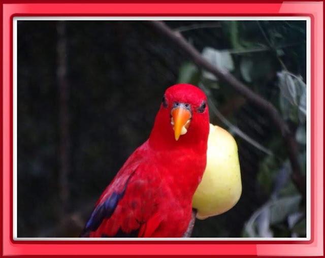 Papagaio Ecletus Roratus