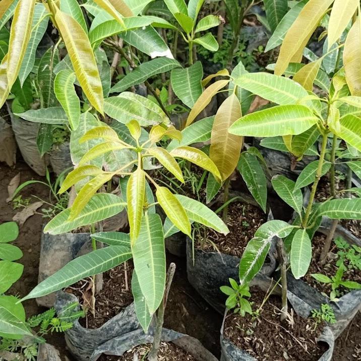 bibit mangga harum manis Kepulauan Riau