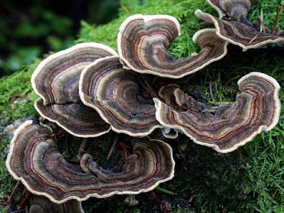 Trametes Versicolor Mushrooms