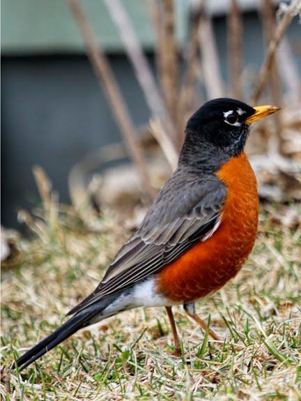 Dan Tallman's Bird Blog: American Robin American Robin Bird