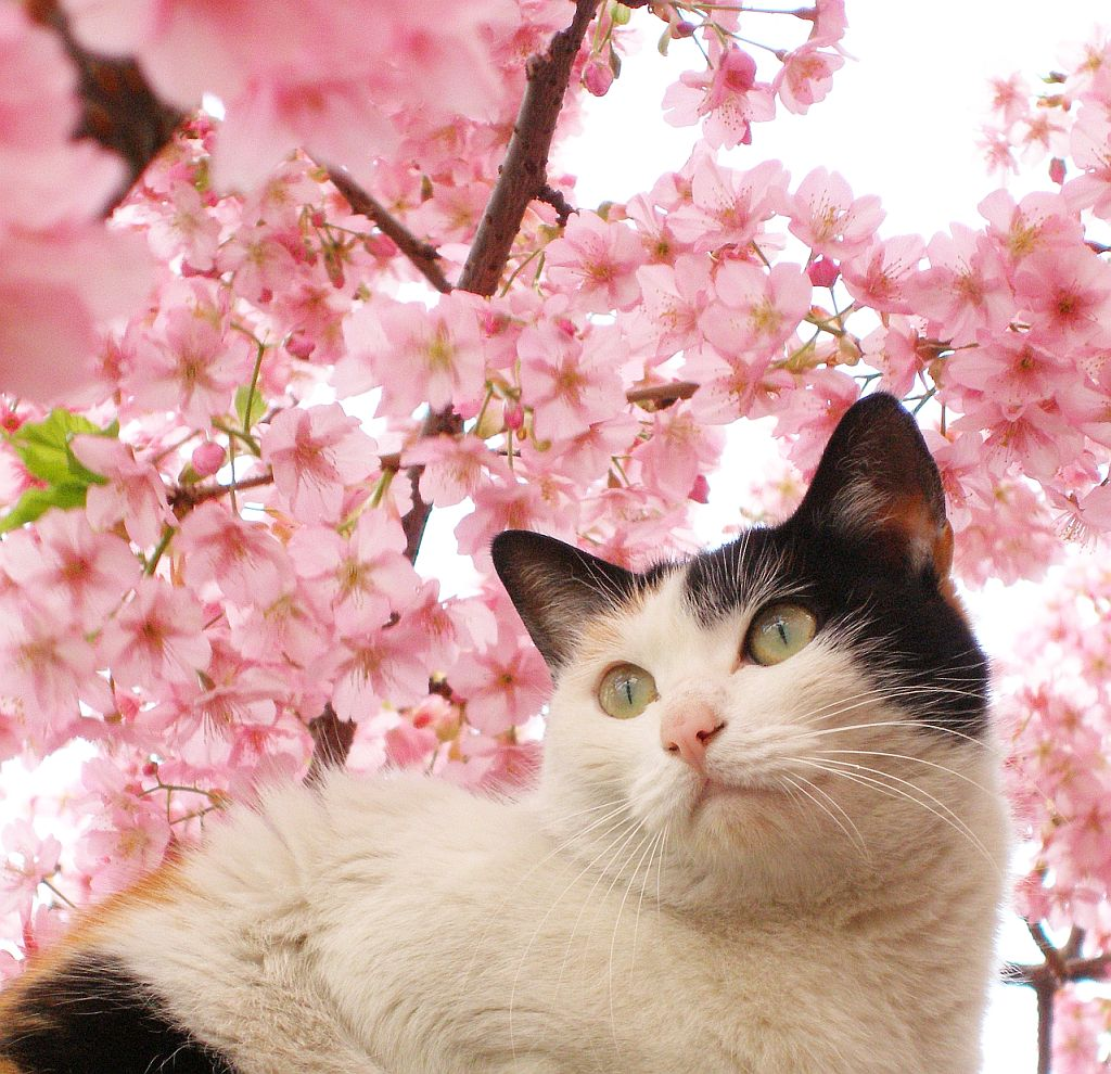 Beautiful Flower Wallpapers For You Japanese Cherry