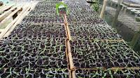 cara mempercepat pertumbuhan bibit cabe, cabai rawita f1, benih cap panah merah, cara menanam cabe, jual benih cabe, toko pertanian, toko online, lmga agro
