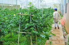 Vườn phúc bồn tử hữu cơ thu tiền tỷ