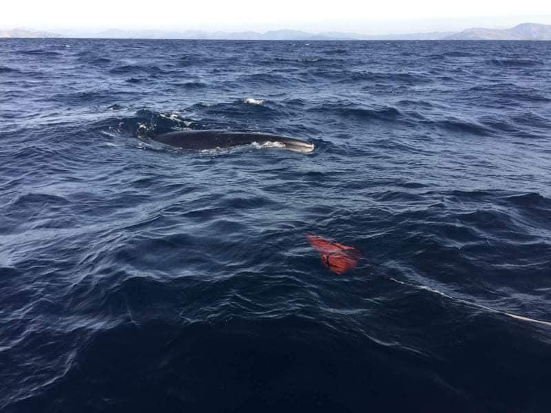 Φάλαινα στην Εύβοια