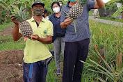 Dinas Pertanian Denpasar Kembangkan  Nanas Madu Subang, Sekali produksi Capai 31,6 Ton/Ha