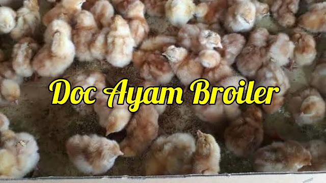 Doc Ayam Broiler