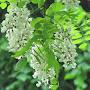 acacia en fleurs