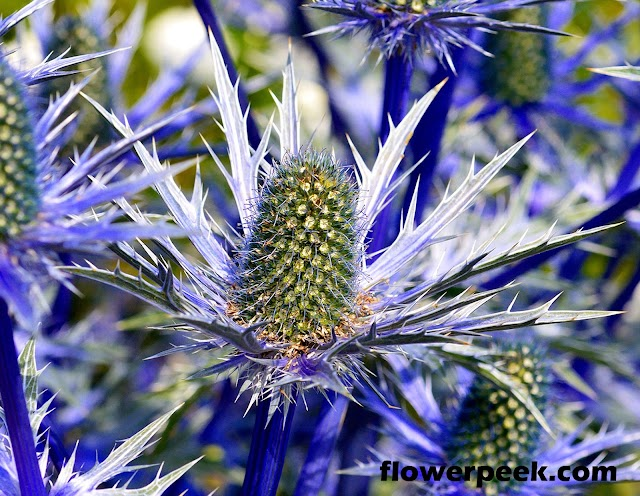 Tips on how to grow Sea Holly flowers