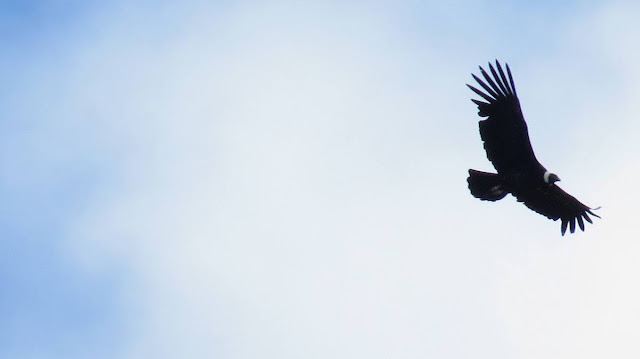 Patagonia Birds: Andean Condor in flight near Puerto Natales Chile