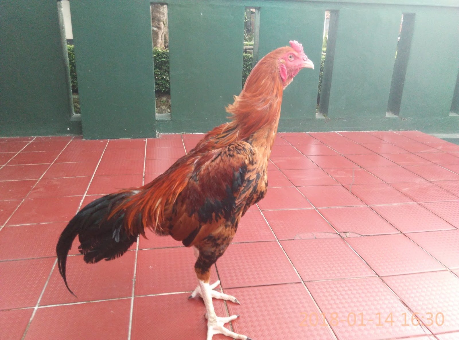 Jual Ayam Birma Ori